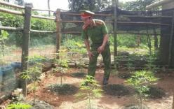 Quảng Trị: Phát hiện người dân trồng cây cần sa trong vườn nhà
