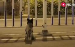 Clip chó ngồi đợi ven đường nơi chủ chết hơn 80 ngày ở Trung Quốc hút triệu lượt xem