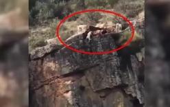 Khoảnh khắc đáng sợ khi hàng chục con chó rơi xuống vách núi trong lúc đuổi theo con nai