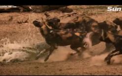 Video: Cận cảnh linh cẩu và cá sấu lần lượt tung đòn bất ngờ giết chết chó hoang
