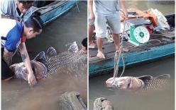 Ngư dân miền Tây bắt được cá hô vàng nặng 125 ký, bán hơn 300 triệu đồng