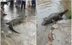 Thực hư thông tin cá sấu bò trên đường phố Đà Nẵng ngày lũ