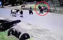 Đang băng qua đường, bò bất ngờ xông phi đạp người văng khỏi xe máy