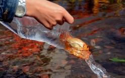 Cách thả cá chép trong ngày ông Công ông Táo thế nào cho ý nghĩa, linh thiêng