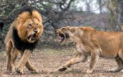 Định cắn yêu bạn tình khi đang ngủ say, sư tử đực suýt lãnh hậu quả thảm khốc
