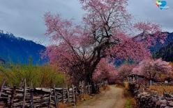 Mê mẩn với cảnh hoa đào nở dịp đầu năm tại Lâm Chi