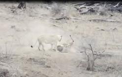 Mải tranh mồi với con cái, sư tử đực vô tình cứu lợn rừng thoát khỏi \