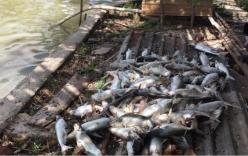 Phẫn nộ ao cá tra 40 tấn nghi bị bỏ thuốc độc, chết trắng xóa trước ngày thu hoạch