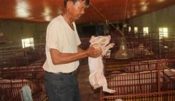 Đại gia Nam Định chăn lợn thu hơn 40 tỷ/năm