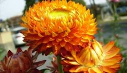 """Ý nghĩa hoa bất tử là biểu tượng của tình yêu """"bất diệt'"""