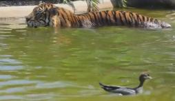 Chúa sơn lâm bẽ mặt như 'mèo ướt' vì bị vịt láu cá chơi khăm