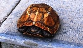 Trả nửa tỷ đồng để mua rùa vàng ở suối cá thần