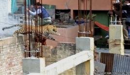 Ấn Độ: Báo hoang ngang nhiên làm loạn trong thị trấn