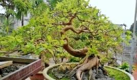 Chiêm ngưỡng cây ổi dáng 'rồng bay' giá 150 triệu