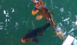 Đôi cá 'biết khóc' trong ao đình có hai đứa trẻ chết đuối