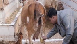 Nước tiểu bò cái 'còn trinh' chữa ung thư, hói đầu