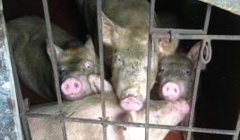 Lợn nuôi nước gạo, cua lấm lem bùn hút khách thành phố