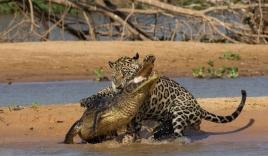 Báo gấm liều mình săn cá sấu Nam Mỹ