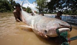 Những 'quái vật' bắt được ở sông Mekong