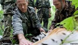 Hổ quý của Tổng thống Putin vượt biên sang Trung Quốc