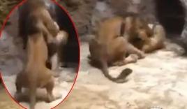 Sư tử đực điên cuồng cắn chết con cái trong sở thú