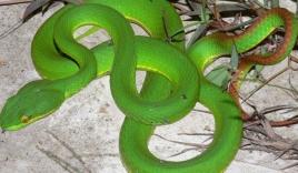 856 trường hợp bị rắn lục đuôi đỏ cắn ở Đồng bằng sông Cửu Long