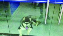 Chú chó đi lạc biết tìm đến đồn cảnh sát nhờ giúp đỡ