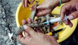 Cà Mau: Bắt quả tang trường hợp tiêm tạp chất vào tôm