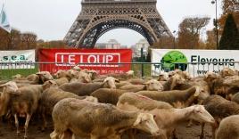 250 con cừu đến Paris 'biểu tình' phản đổi bị sói ăn thịt