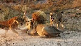 Sư tử đực dũng mãnh giải cứu sư tử cái khỏi vòng vây kẻ thù
