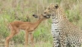 Tình bạn đặc biệt giữa linh dương kẻ ăn thịt