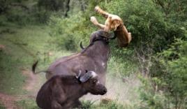 Trâu rừng húc bay 2 con sư tử cái