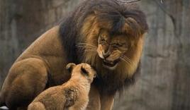 Sư tử đực cắn chết con vì giận sư tử cái