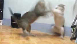 Hài hước với màn solo Vịnh Xuân Quyền đỉnh cao của 2 'võ sư' mèo