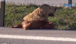Xúc động trước video chú chó bảo vệ xác bạn giữa đường cao tốc