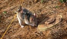 Cận cảnh chuột khổng lồ làm nhiệm vụ dò mìn ở Châu Phi