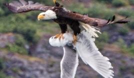 Xúc động chim hải âu đuổi theo quyết chiến đại bàng để cứu bạn