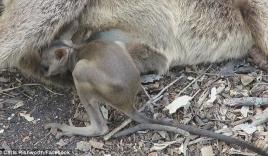Đau lòng cảnh chuột túi con rúc tìm vú chuột mẹ đã chết