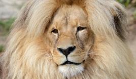 Thú vị với hình ảnh 'vua' sư tử có 'mái tóc' phong cách thu hút tại sở thú