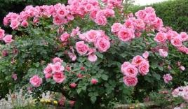 """""""Nịnh"""" sếp bà bằng hoa hồng 50 triệu đồng"""