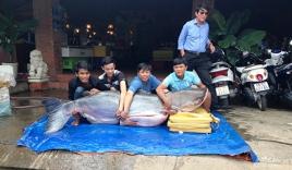 Đưa cá tra dầu nặng 200kg, dài 2m từ Campuchia về TP HCM
