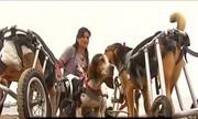 Những chú chó chạy xe lăn truyền nghị lực sống