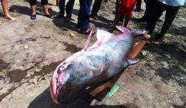 Ngư dân miền Tây 'trúng số' vì bắt được 'thủy quái' nặng 100kg