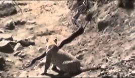 Hổ mang chúa dứt khỏi miệng báo gấm, thoát chết ngoạn mục
