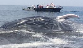 Giải cứu cá voi xanh khổng lồ dài 20m  bị mắc cạn