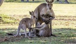 Xúc động cảnh chuột túi mẹ ôm chặt con trước khi qua đời
