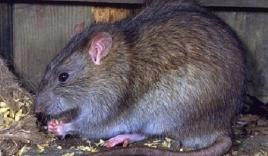 Khi linh bắn tỉa săn chuột cống cực khủng