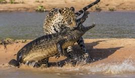 Báo gấm liều mình lao xuống nước bắt cá sấu