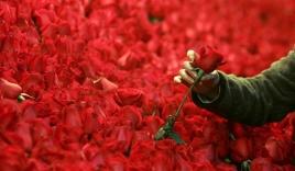 Nam sinh mua hoa tặng hơn 800 nữ sinh trong trường nhân ngày Lễ tình nhân