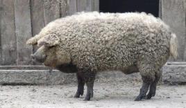 Cận cảnh lợn lai cừu lông xù độc lạ hiếm gặp